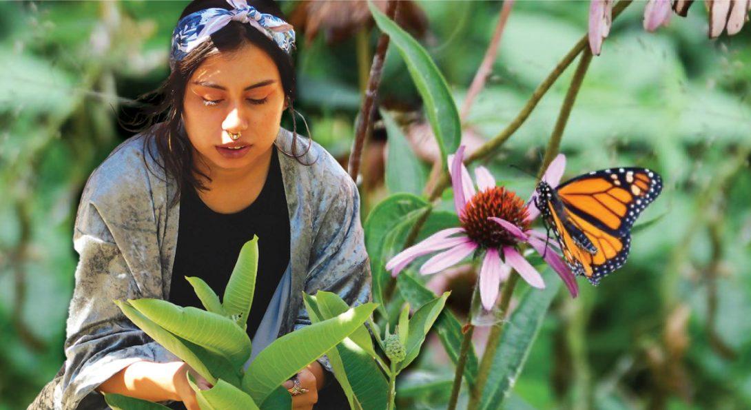 heritage garden worker working with monarchs and milkweeds